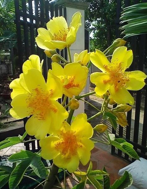 Huỳnh hoa đăng