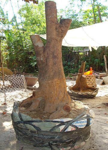 Bầu đất cây mai lớn mới bứng