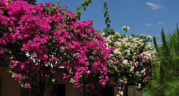 Cây bông giấy ra hoa đúng tết