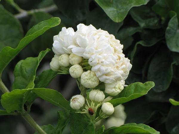 Kỹ thuật trồng cây hoa lài