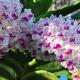 Cho cây ngọc điểm ra hoa đúng tết