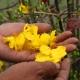 Hoa Mai Nở Sớm