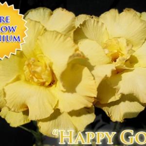 Sứ Kép Rồng Vàng (Happy Gold)