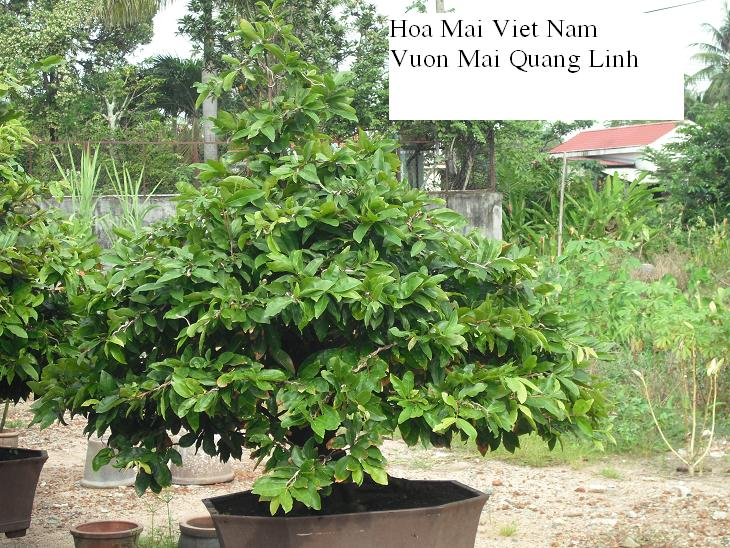 Hoa mai Việt NamBonsai HMVN10