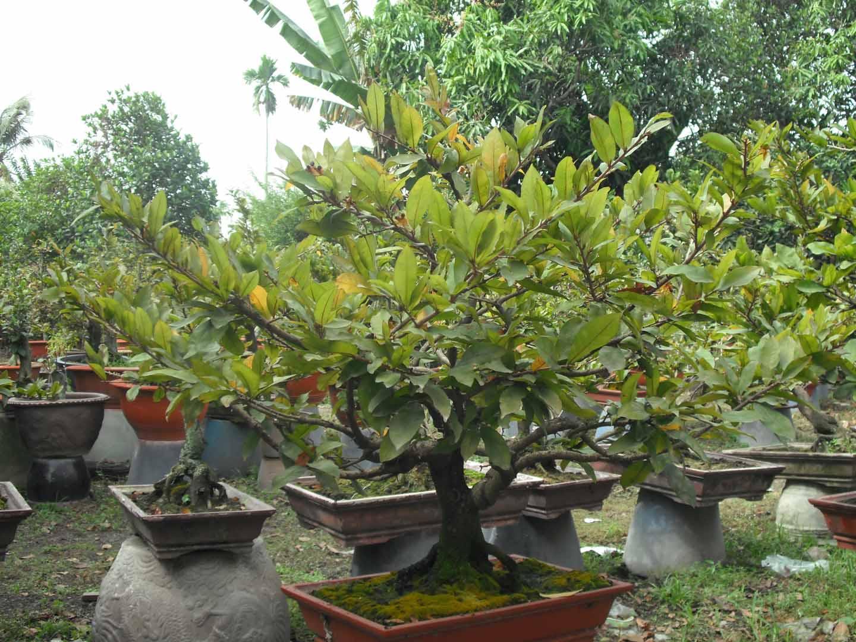 Hoa mai Việt Nam HMVN09