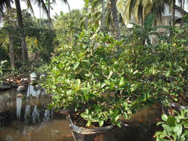 Hoa mai Việt Nam HMVN04